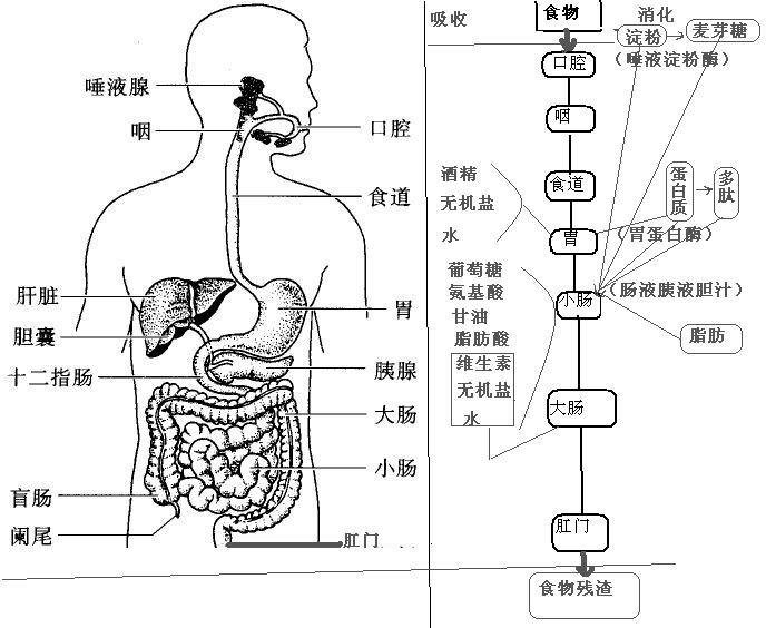 人体系统_人体的大肠,小肠,盲肠分别是做什么用的?